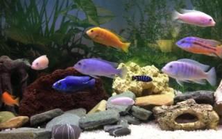 Цихлиды аквариумные рыбки