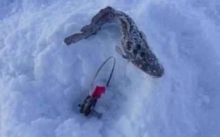 Ловля зимой налима на жерлицы