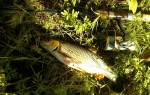 Какие рыбы водятся в реке