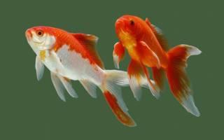 С кем может жить золотая рыбка