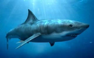 Сколько живут акулы