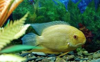 Аквариумные рыбки большие