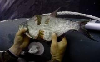 Болезни прудовых рыб