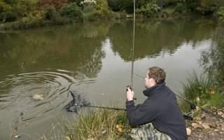 Как ловить толстолобика в прудах