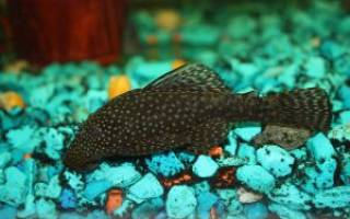 Аквариумные рыбки сомы