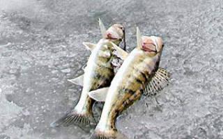 Ловля судака зимой на мормышку с мальком