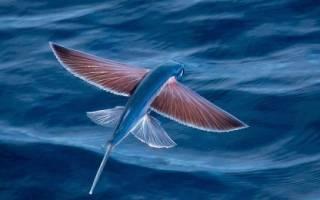 Сколько крыльев у летучей рыбы