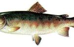 Блюда из рыбы ленок