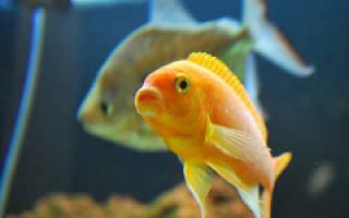 В аквариуме умерла рыбка что делать