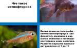 Манка у аквариумных рыб