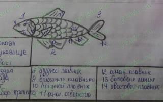 Строение рыбы внешнее